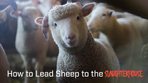 How to Lead Sheep to the Slaughterhouse